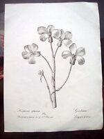 1824 BOTANICA INCISIONE CON FIORE HESPERIS APRICA-JULIANA DEL SENESE FELICIATI
