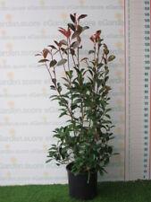 Photinia Red Robin v.24
