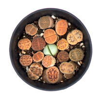 CG:Lithops COMB 15 more plants super Nice  Succulents Aeonium Echeveria Sedum