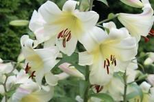 Tree Lily Bulbs 'Late morning' Scented Goliath Lilies x 6