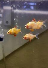 New listing Albino Tiger Barb 10 Fish