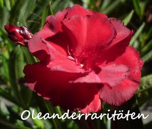 Oleander Pflanze RUBIS  3l Topf 40-50cm  rot gefüllt sehr selten
