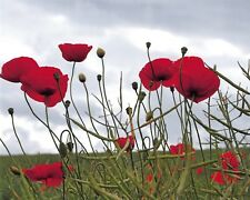 Stunning 10 x 8 Photo Print, Poppies in a Field on 230gsm Archival Matte 37A