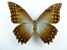 Morpho amphitryon ssp. azurita Männchen