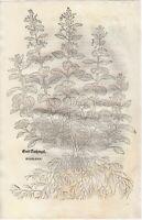 FUCHS  1543 Antique Woodcut Print -  GERMANDER  Botanical Herbal *VERY RARE*