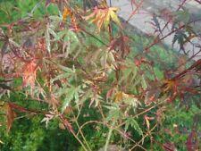 Acer palmatum Beni-shichi-henge - Japanischer Fächerahorn Beni-shichi-henge