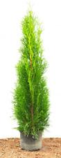 Edel Thuja occidentalis 'Smaragd' immergrüne Heckenpflanze im Topf gewachsen