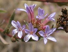Plumbago europaea - Common Leadwort - Rare Tropical Plant Shrub Seeds (5)