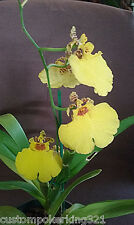 """Oncidium, sphacelatum, Yellow Dancer, Tropical Exotic Orchid, potted in 4""""pot"""