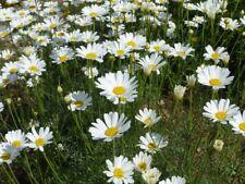 Dalmatiner Insektenblume Tanacetum cinerariifolium 20 Samen VERSAND FREI !!!