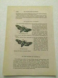 K134) View of Death's Head Hawkmoth Lepidopterology 1870 Engraving