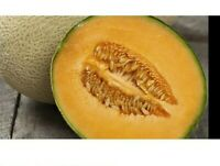 Sweet /& Delicious*HONEYDEW*Melon* 15-Finest Seeds*hardy Variety*UK