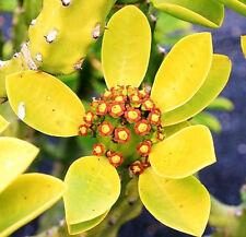 Euphorbia neriifolia, rare cactus exotic succulent cacti flowering seed 10 Seeds