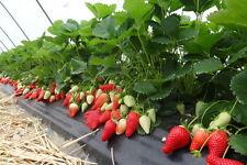 DELICIOUS ☆Sweet & Juicy Strawberry☆ 50-Finest Seeds☆Four Seasons☆UK Seller