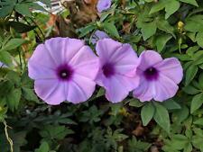Ipomoea cairica- Coast Morning Glory - 10 Seeds