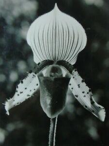 "Original Vintage-FotoErich Rössel ""Orchidee"" (ähnlich Blossfeldt/Renger-Patsch)"