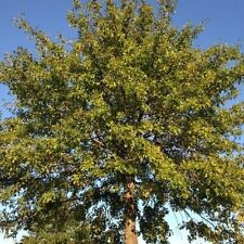 25 Acorns Seeds PIN OAK tree grows 70 feet tall swamp Spanish Quercus palustris