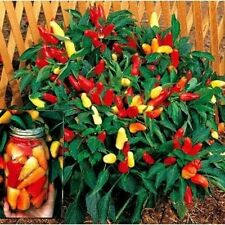 FARM RAISED ORGANIC NON-GMO SWEET PICKLE PEPPER SEEDS BRIGHT COLORS LOW S&H