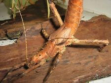 Haaniella grayii stick insect eggs 12 pcs.