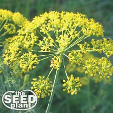 Bouquet Dill Seeds 250 SEEDS-SAME DAY SHIPPING