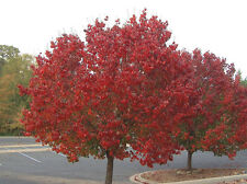 MANCHURIAN PEAR Seed Autumn Colour Deciduous Cold Tolerant Tree Pyrus calleryana