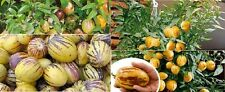 20 x Mini CH Dragon Melons Tree Seed Plant Garden Fruit Seeds Novelty #164
