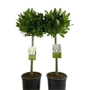 Bay Tree Matching Pair
