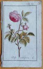ZORN Original Colored Botanical Print Rose Rosa centifolia - 1796#