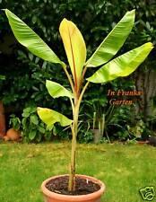 Musa Helens Banane @ süße, leckere Essbanane @ WINTERHART@Frucht-Banane@ 5 Samen