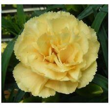 15 graines d' OEILLET CHABAUD JAUNE(Dianthus Caryophyllus)X148 CARNATION SEEDS
