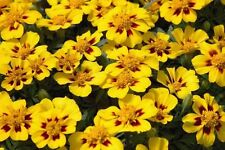 Marigold Flower Legion of Honor and Mariet annuals Seeds (2 packages) Ukraine