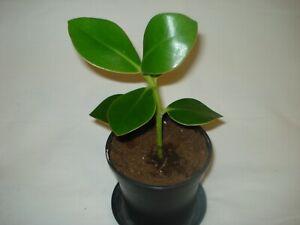 Clusia Rosea Plant  Autograph Tree Indoor Evergreen Houseplant