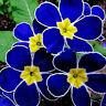 100 seltene blaue Nachtkerzensamen Leicht-zu züchtende Gartendekor-Pflanzenblume