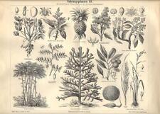 Stampa antica PIANTE ALIMENTARI botanica 3 Arachide Riso 1890 Old antique print
