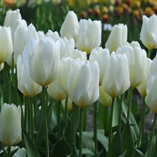 "PRE-ORDER 25 WHITE TULIP BULBS PURISSIMA-WHITE EMPEROR"" STUNNING-AGM-SPRING BULB"