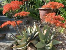 *Rare Aloe* Coral Aloe, Aloe Striata 20 Seeds From Canada