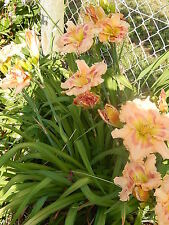 Hemerocallis Hémérocalles vivaces hybrides Québec 2 GROS pieds racinés superbes