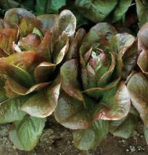 Heirloom Romaine Lettuce CIMMARON ROUGE d'HIVER Bulk 12,000 Seeds (1/2 oz)