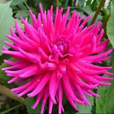 Purple Cactus Dahlia Purple Gem - Cactus Form 3 Bulbs HUGE Blooms Summerbulbs