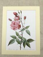 Fiore Stampa Rosa Comune Cina Rosa Idica Vulgaris Redoute Botanico Rose