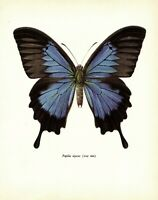 Antique BUTTERFLY Print Ulysses SWALLOWTAIL Butterfly Insect Art Print  3657-74