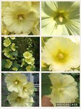 Yellow Hollyhock 5g = Est 300 seeds. By Sprakebsck's Seeds