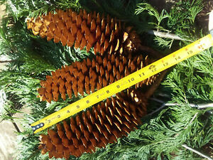 Grade A+ Sugar Pine, sap free, roasted cones from Northern California.bundle 3
