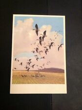 J1-1 Postcard Unused Pink Footed Geese Coming Into The Stubble Peter Scott Birds