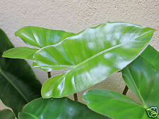 Philodendron imbe Seed Evergreen Slow Growing Climber Indoor/Outdoor Subtropical