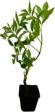 Schwarzer Holunder - Haschberg - Pflanze Strauch große Beeren und hoher Ertrag