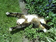 Cats Love It Catnip Nepeta Cataria 200 Seeds Minimum Garden Flower Herb Plant