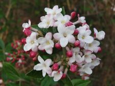 Mohawk Viburnum - Live Plant - Shipped Over 2 Feet Tall - Fragrant Blooms