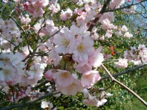 rare Almond Tree, AMYGDALUS COMMUNIS, edible brown nuts, pinkish flowers,10-15cm