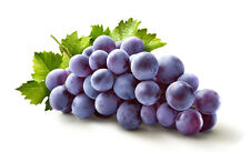 1 CONCORD GRAPE VINE, 12 INCHES TO 1 1/2 FOOT TALL PLANT ORGANIC GROWN FR SEEDS